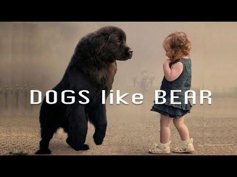 7 Dogs Like Bear