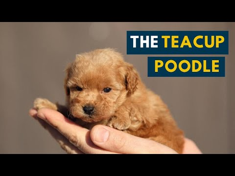 The Teacup Poodle: Everything About This Teacup-sized Companion Dog!