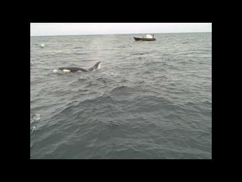 Killer Whales attack Minke August 12th 2010 - Tors Cove