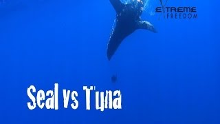 Seal verses Tuna - watch what happens when a tuna gets close to a seal