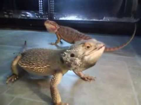 Bob The Bearded Dragon Dancing Youtube