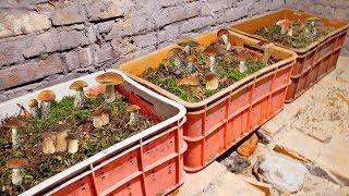 Как вырастить много белых грибов в своем подвале