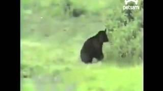 Küçük kedi kocaman ayıyı böyle kovaladı HAYVANLAR ALEMİ Haber 7 TV