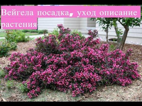 Вопрос: Вейгела цветущая Ева Ратке, как выглядит?