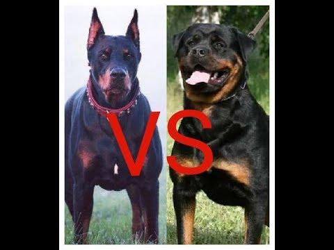 Какая собака круче Доберман или Ротвейлер ??? Which dog is cooler Doberman or Rottweiler ???