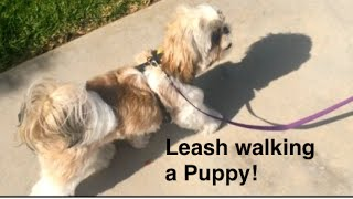 How to train Puppy to walk on a leash-puppies that stop and are scared or stubborn