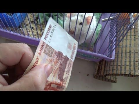 Рекация крысы на деньги == Первое купание крыса Мультика...Крыс постоянно чешется
