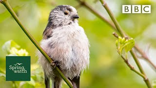 Spring wildlife webcams live! 🐤🦊🐿 - Tuesday 26 May - Springwatch - BBC