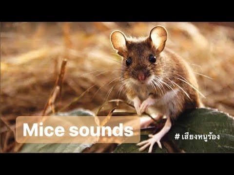 เสียงหนูร้อง Mice sounds Squeak-squeak - YouTube