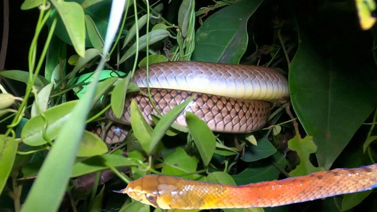 Săn Đêm Tập 03: Gặp Phải Loài Rắn Hổ Hồng Cực Độc Đầu Hổ Mang Chúa (Night Hunting 03: poison snake)