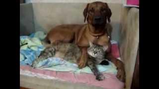 Родезийский риджбек Эмили и кошка Алиса
