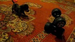 Dachshund + Yorkie Puppy