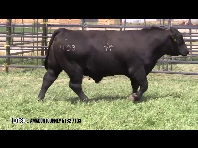 Mid Valley Bull Sale Lot 30