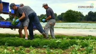 Harvesting Salads On A Concordia Farm (english)