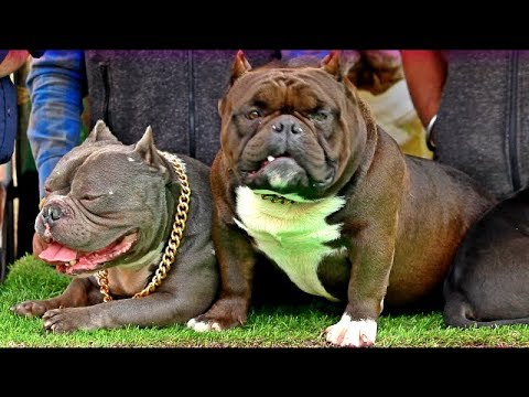 INDIA'S FIRST BULLY SHOW |Here the beasts are!| Wildly Indian