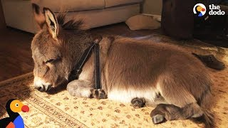 Tiny Donkey Thinks He's Actually A Dog  | The Dodo