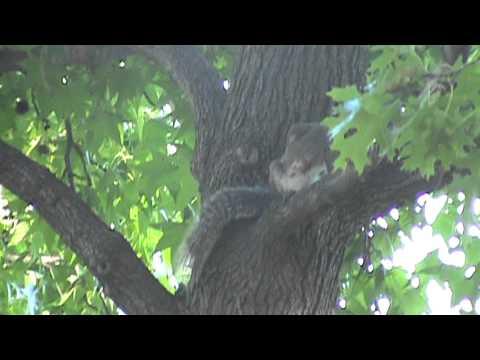 Ethogram Footage for an Eastern Grey Squirrel