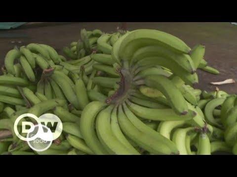 Ecuador: Sterben der Bananen | DW Deutsch