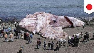 原発原因? 巨大イカの正体は thumbnail
