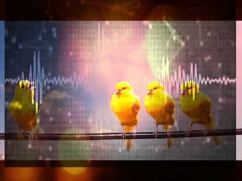 Female Canary calling for training male to sing