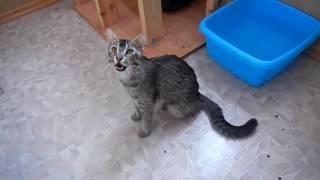 Песня Бенгальской кошки F1 (Song of bengal cat F1)