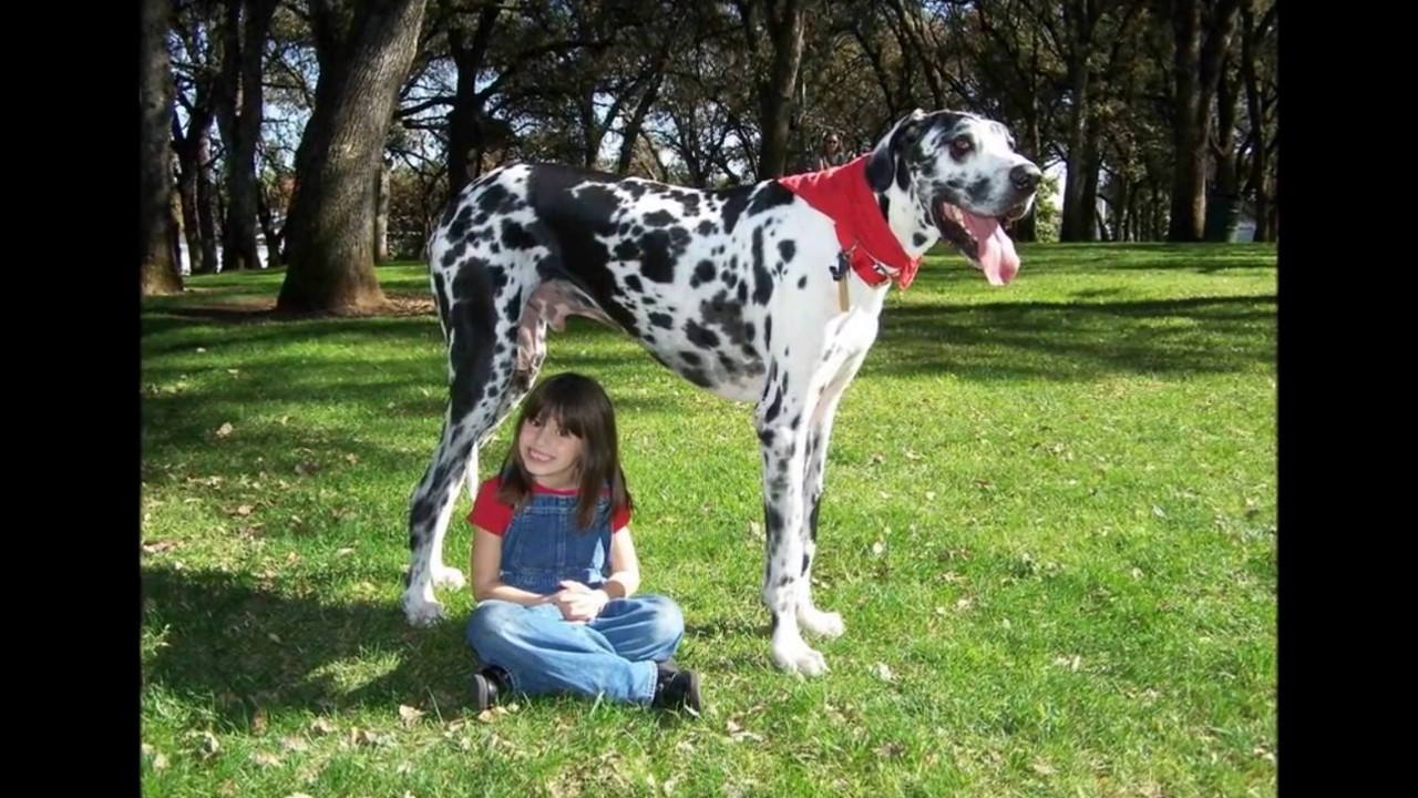 top 10 des plus gros chiens du monde youtube. Black Bedroom Furniture Sets. Home Design Ideas