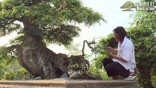 Nghệ nhân tiết lộ bí quyết chơi bonsai cổ thụ