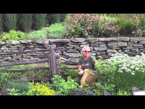 "TARRAGON (Artemisia dracunculus L.) ""HAIRY"" ROOT CULTURE"