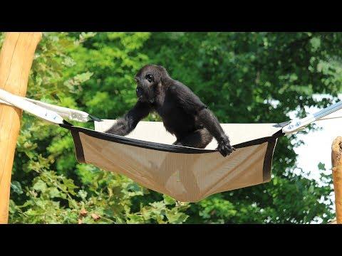 Philadelphia Zoo's Gorillas Get A New Treehouse