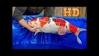 Săn Bắt Cách mà người Nhật thu hoạch cá chép koi khổng lồ #LOWI 2019