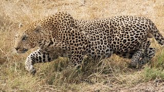 A Leopard, Hunting Impala Gets a Very Big Surprise in Kruger National Park