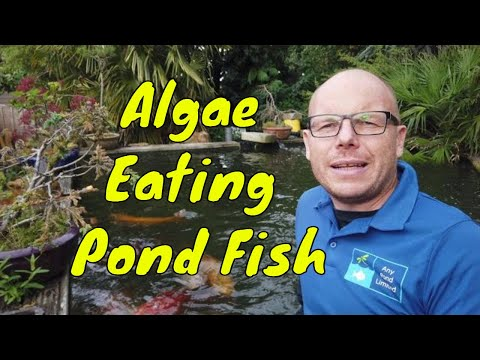 Using Algae Eating Pond Fish
