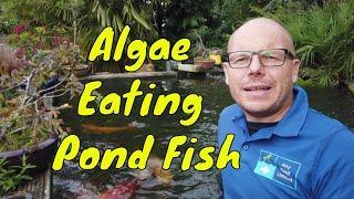 Using Algae Eating Pond Fish
