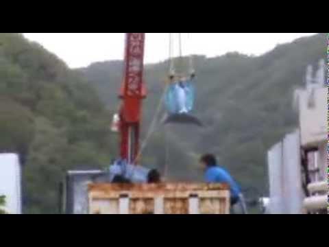 Taiji, Japan - Bottlenose dolphin lifted into Dolphin Resort Hotel tanks