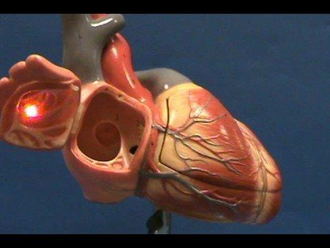 Heart Model II - Right Atrium - YouTube