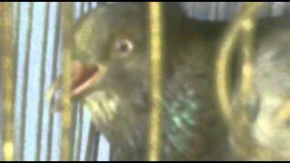 pigeon disease.mp4
