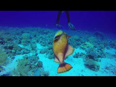 Triggerfish fight @ Panorama Reef | Panorama Riff @ Safaga / Hurghada