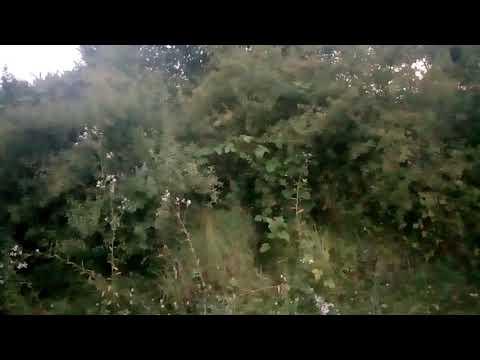 Гасконская гончая. Охота на лису