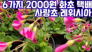 2000원화초 사랑초 …