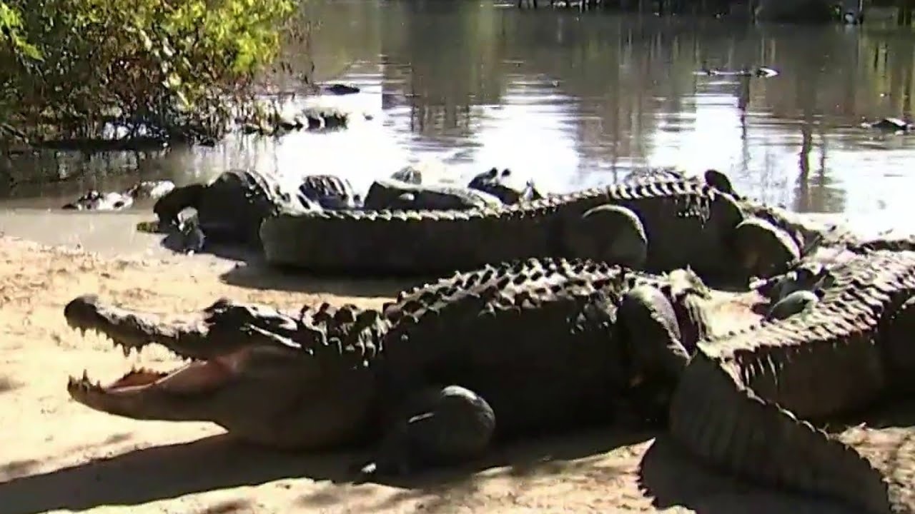 Download Which lake in Florida has the most alligators?