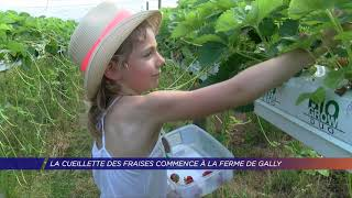 Yvelines   La cueillette des fraises commence à la ferme de Gally