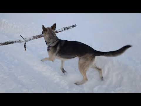 А это наша собака   Восточно-Европейская овчарка
