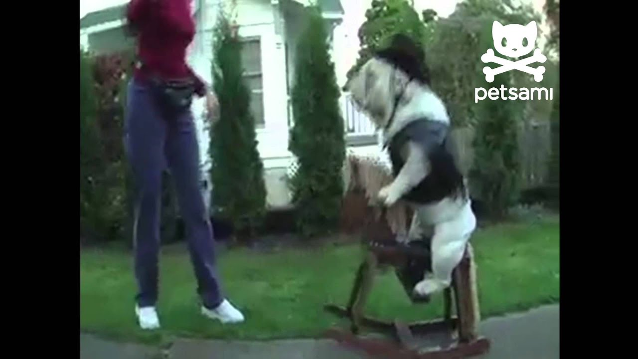 bulldog takes a ride on a rocking horse - youtube