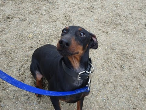 Nelson - Manchester Terrier - 4 Week Residential Dog Training at Adolescent Dogs