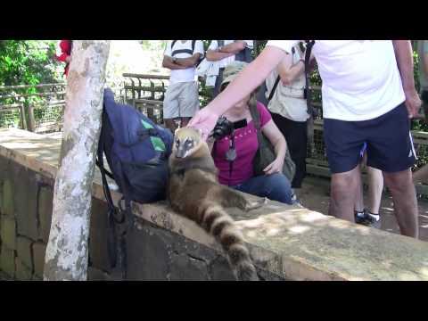 animali buffi – Il procione che mi ha rubato l'autan
