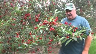 How to pick cherries properly