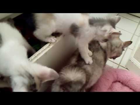 Cinder Babies2 -  05/20/18 - Japanese Bobtail Kittens