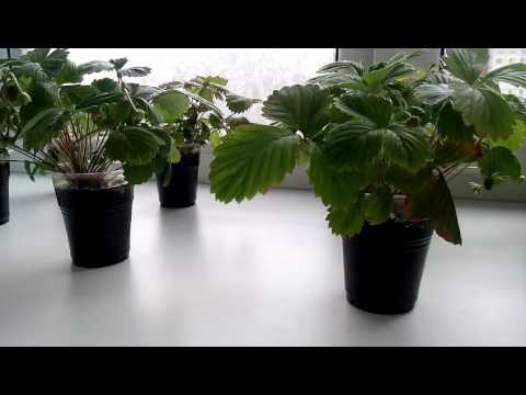 Как вырастить землянику из семян на балконе (подоконнике). Первый урожай
