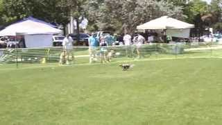 Cavalier King Charles Spaniel Louie Coursing At St  Pawtricks Day Festival March 15, 2015