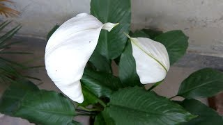 पीस लिली : सर्वोत्तम वायु- शोधक पौधा। Peace Lily (Spathiphyllum), a great air purifier: care & info